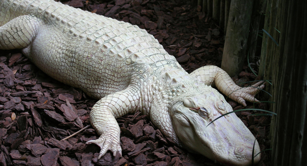 As with all white animals, albino alligators are very vulnerable to the sun and predators.